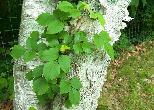 get smarter about poison ivy, with dr  susan pell - A Way To
