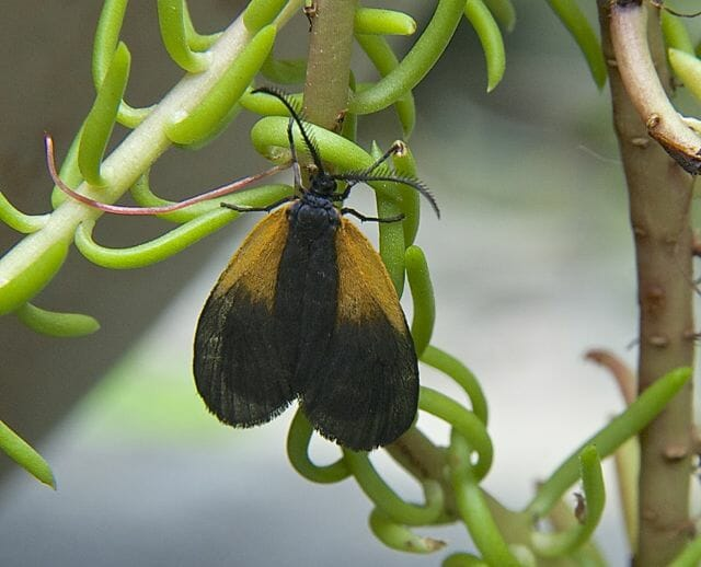 yellow and black lichen moth 2