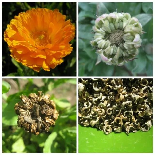 calendula seed ripens