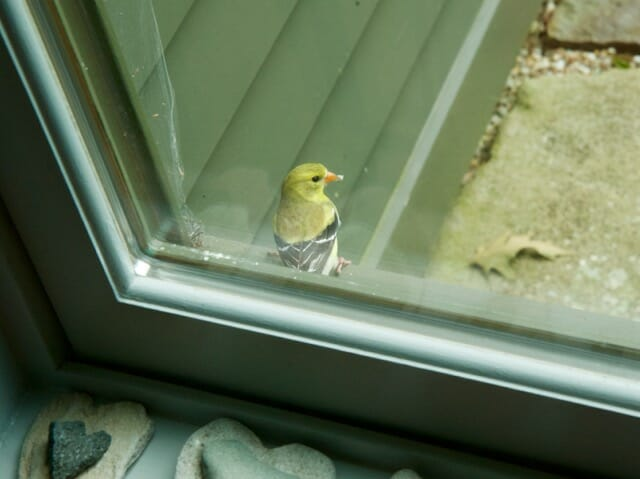 goldfinch collects spider web