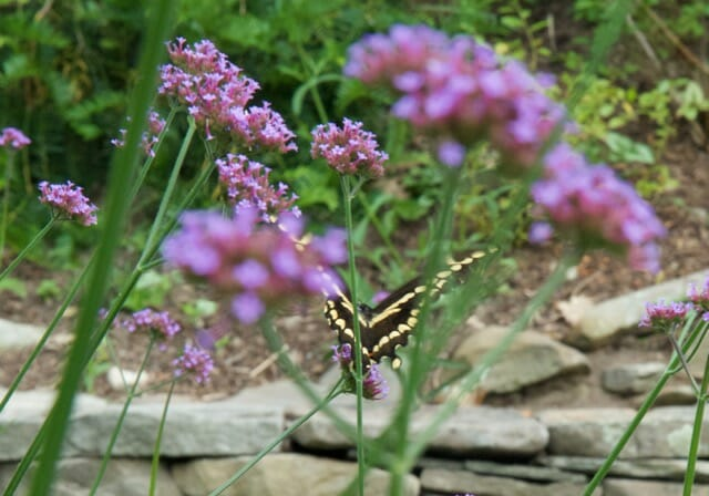 giant swallowtail 080715