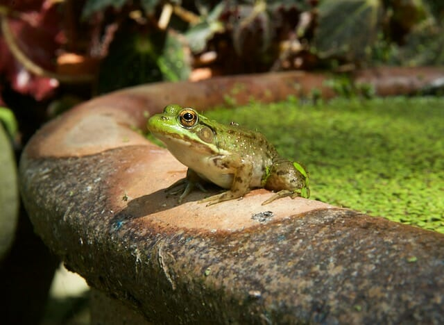 young green frog