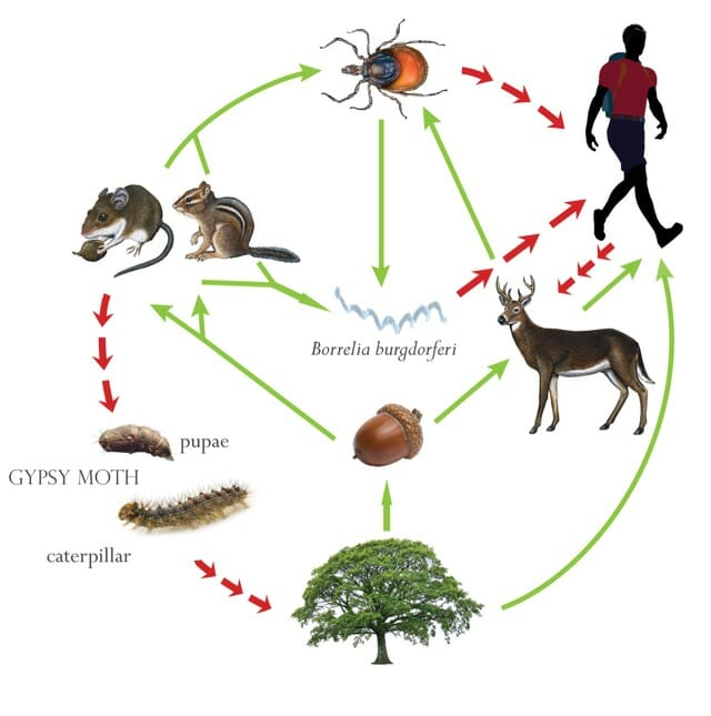 the acorn connections, with dr  rick ostfeld: ticks, gypsy