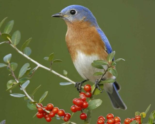copyright Audubon