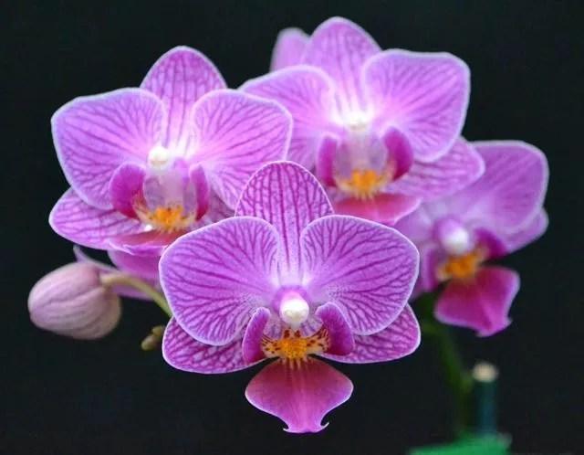 Phalaenopsis_Sogo_Vivien