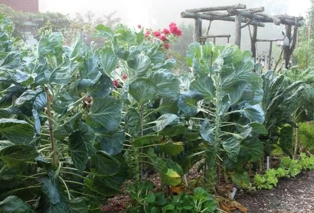 Brussels sprouts Lee Reich's garden