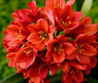 growing and blooming clivia, with longwood's alan petravich