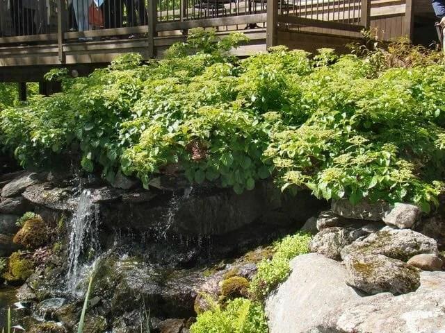 climbing hydrangea by Brushwood