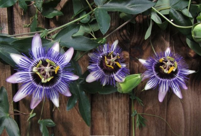 damsels delight passiflora brushwood