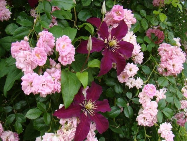 rose and clematis Brushwood