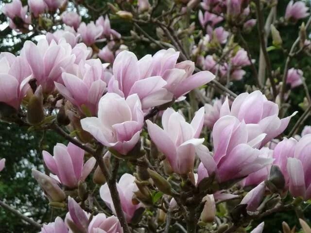 Magnolia x soulangeana 'Lilliputian'-6-Bunting