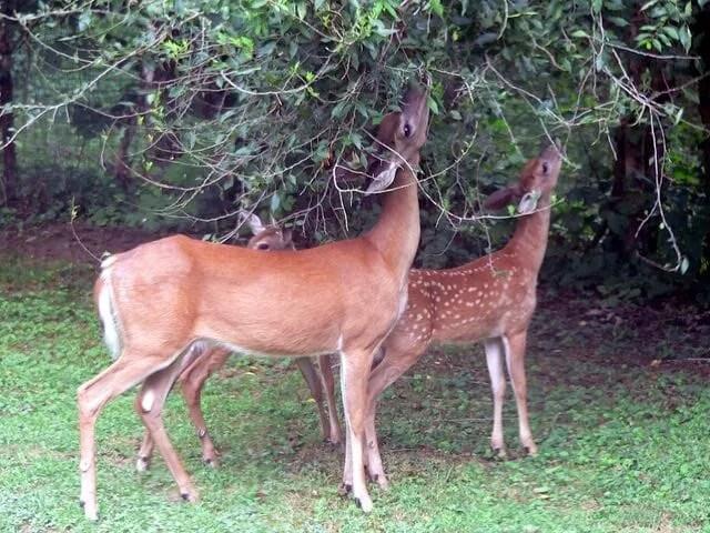 White-tailed_deer_(Odocoileus_virginianus)_grazing_-_20050809 (1)