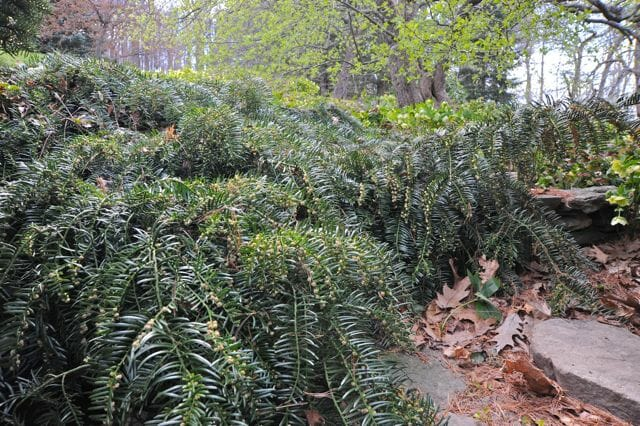 cephalotaxus harringtoniana prostrata