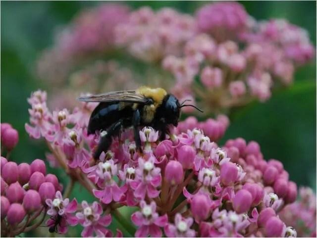 bee on A. incarnata