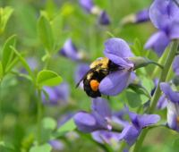 growing baptisia, with george coombs of mt. cuba center