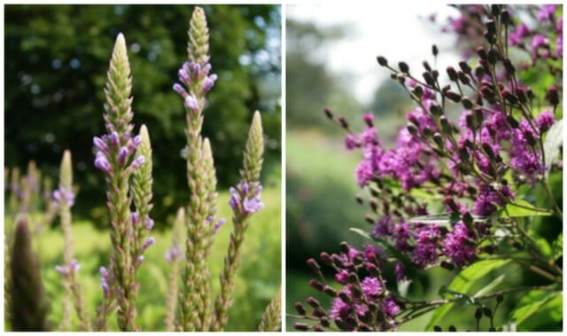 c Longwood Verbena hastata and Vernonia