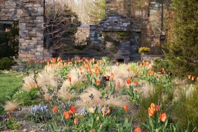 nassella and tulips
