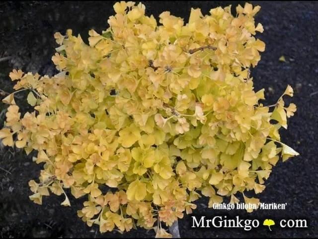 Ginkgo biloba Mariken Dwarf Ginkgo Tree For Sale