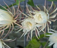 night-blooming cereus, degrees of shade, growing peas, deer rut damage: q&a with ken druse