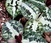 growing trilliums, with tony avent of plant delights