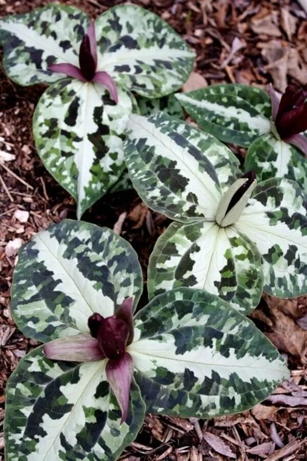 Trillium foetidissimum from Plant Delights Nursery