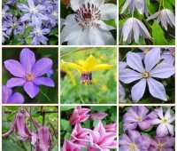 extend your clematis bloom season to spring through fall, with dan long