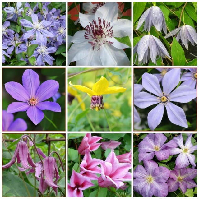 Extend your clematis bloom season to spring through fall with dan do you have clematis blooming in your garden from early spring to late fallor does that sound like a worthy goal by selecting the right varieties and also mightylinksfo