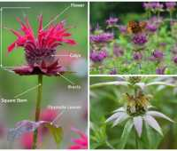 bee balm: make room for monarda, with mt. cuba's george coombs