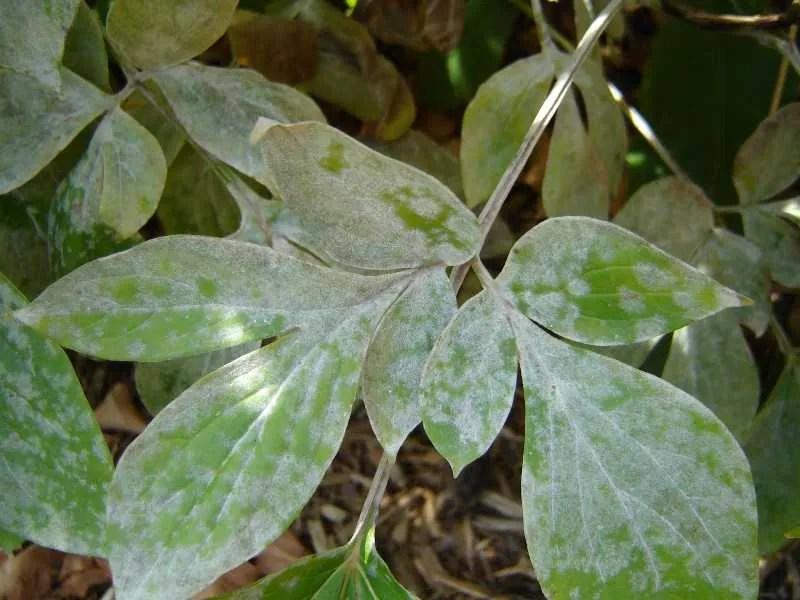 Image from Missouri Botanical Garden