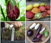 seed-shopping, plus growing eggplants and 'dense sowing,' with craig lehoullier