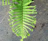 showy ferns to crave, with judith jones of fancy fronds nursery
