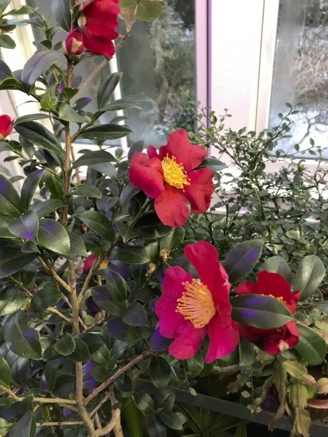 Camellia sasanqua 'Yuletide' Ken Druse
