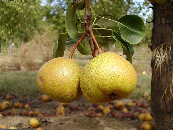 Perry pear