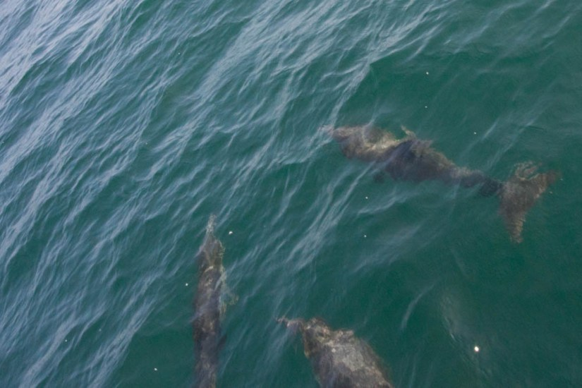 Dolphins in Ensenada, Mexico