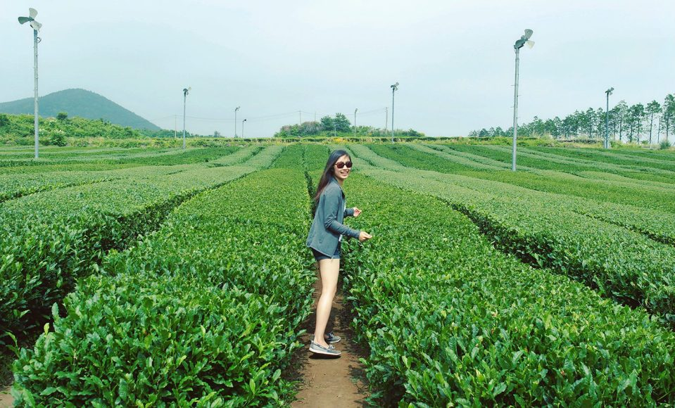 Flora among green tea fields on Jeju Island