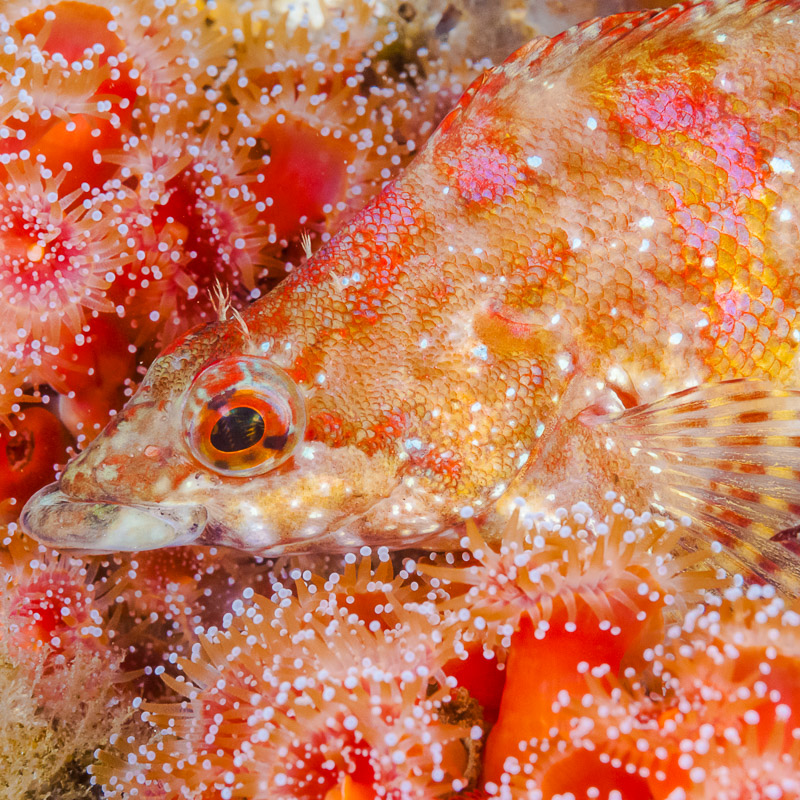 Painted Greenling (Oxylebius pictus)