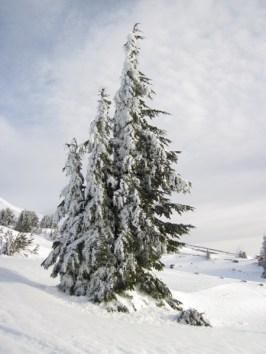 Beautiful trees on Mt. Hood.