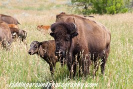 Baby bison and a big one! Teddy Roosevelt National Park