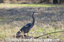 Great Blue Heron in the sunlight.