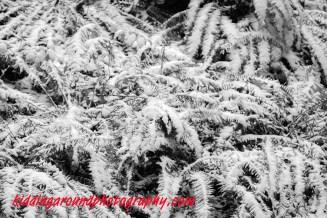 ferns in snow infrared