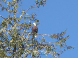 Bald Eagle at the mouth of the Ozette River