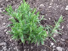Some of the already established plants such as this Rosemary will be replanted into the bed and I'm thinking that Rosemary will will make an attractive small hedge on one side.