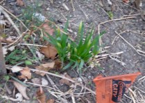 Tete-a-Tete Daffodils--usually the first to bloom