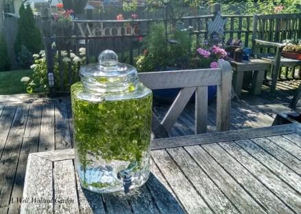 Making lemon balm water