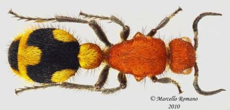 20101222001055_Stenomutilla-Madagascar05