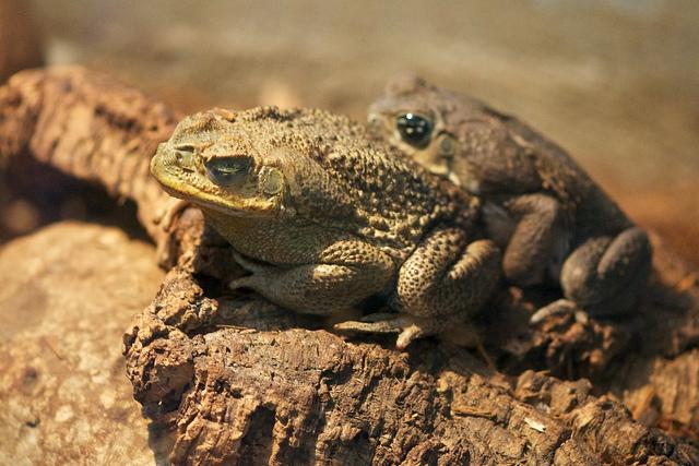Amplexus cane toad