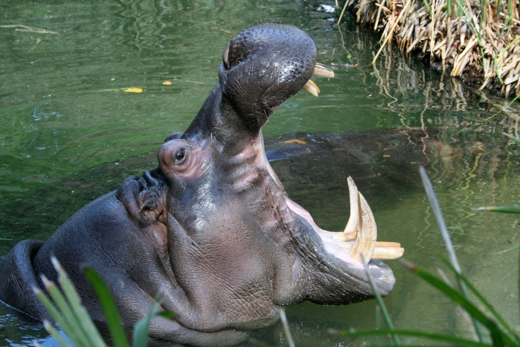 Not so happy hippo - Safari-Führer von Nilpferd verschluckt