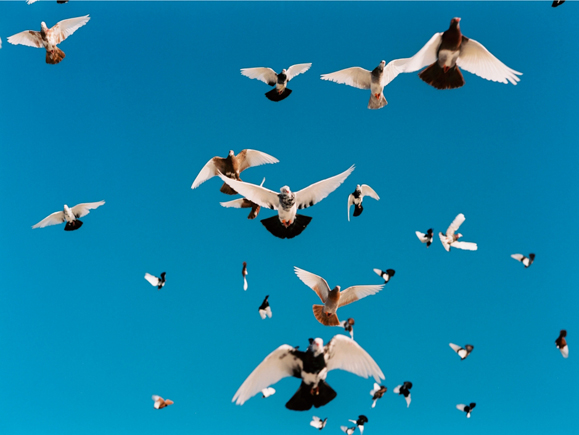 pigeonflyers18