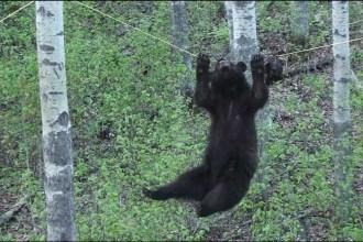 Seiltanzender Bär