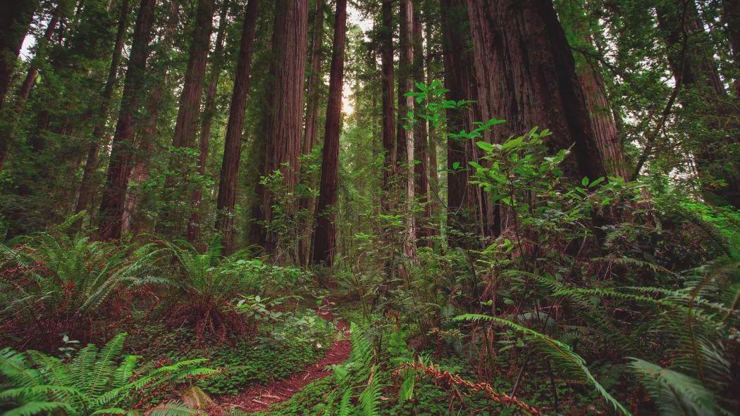 Mtjp Redwoods